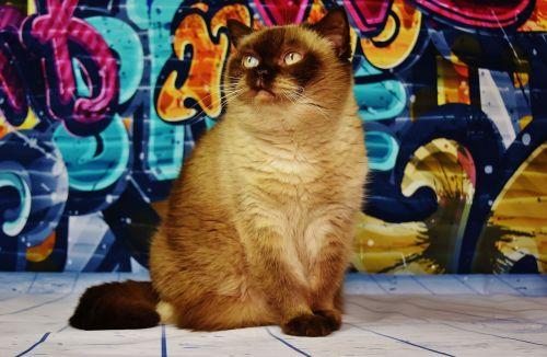 british shorthair cat brown
