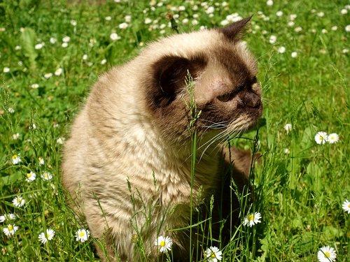 british shorthair  cat  cute
