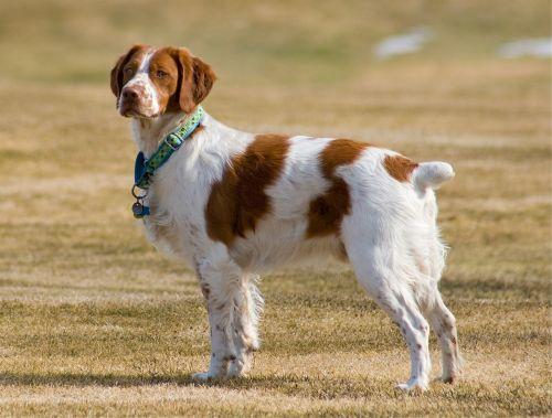 brittany spaniel canine dog
