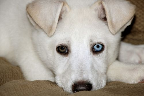 Brown And Blue Eyed Puppy 1