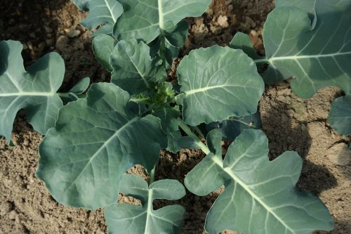 broccoli agricultural products crop
