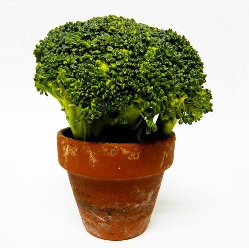 Brokoliai, daržovių, žalias, gėlė & nbsp, puodą, Brokoliai