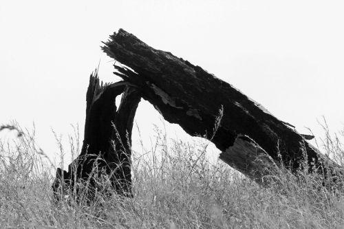 Broken Tree In B&w