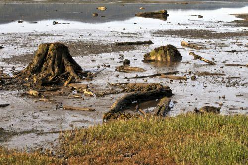Broken Trees In The Marsh