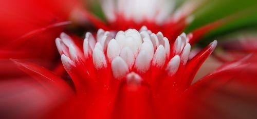 bromeliad vriesea exotic
