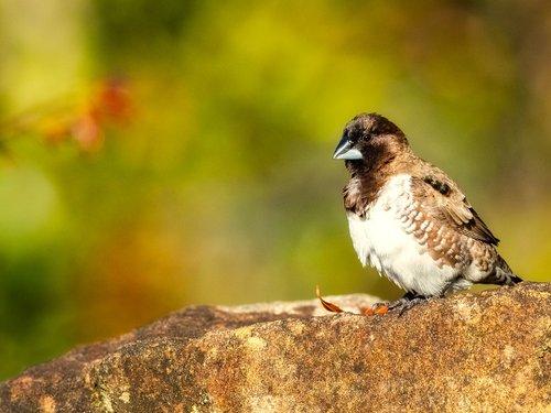 bronze mannikin  bird  sparrow