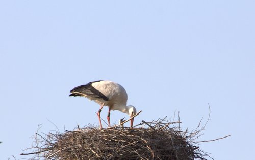 brood care  stork  adebar
