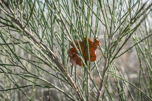 broom leaf oak leaf