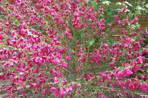 broom red broom gorse in bloom