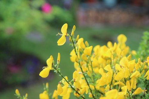 broom  broom yellow  flowers