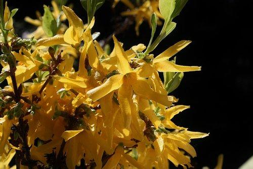 broom  gorse blossom  yellow