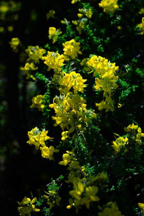 broom flowers yellow