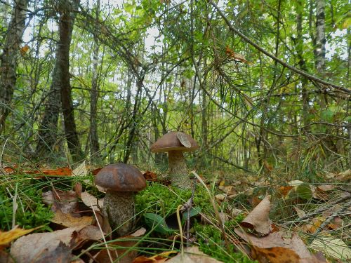 brothers mushrooms boletus