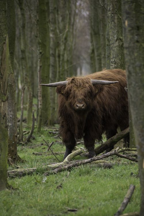 brown scottish highlander