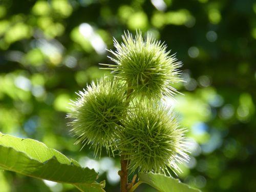 brown chestnuts skewers