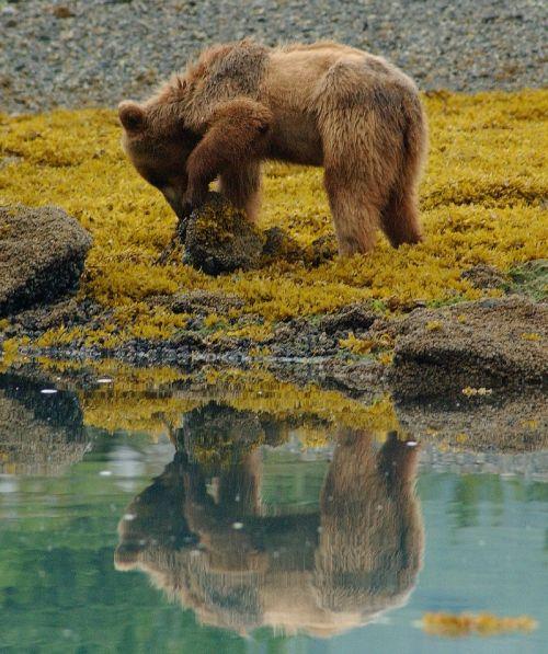 brown bear wildlife nature