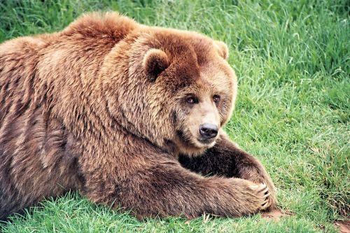 brown bear bears mammal