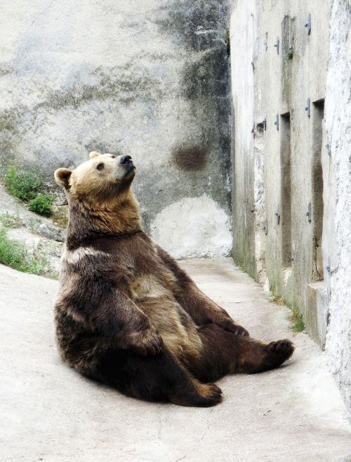 brown bear seated the zoo