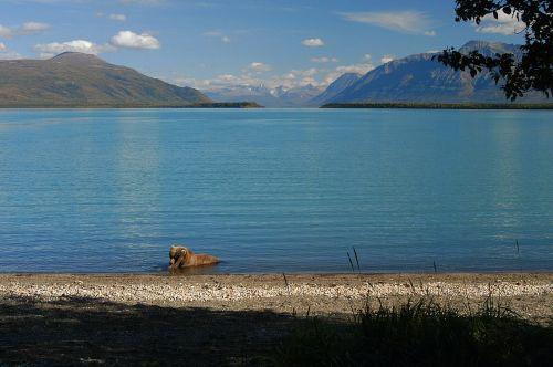 brown bear lake wildlife