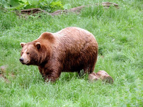 brown bear bear mammal
