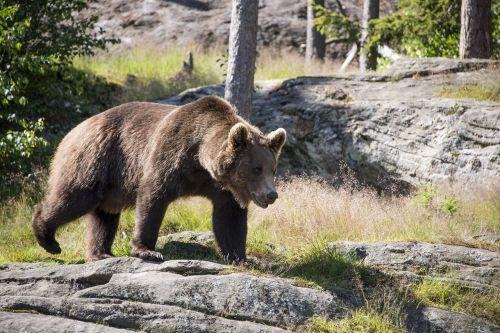 brown bear ursus arctos bear