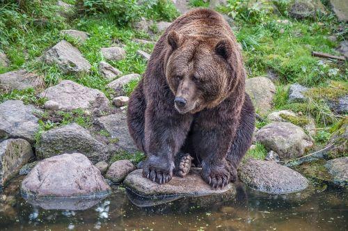 brown bear stones fur