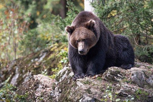 brown bear  bear  teddy bear