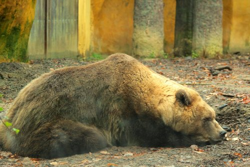 brown bear  zoo  predator