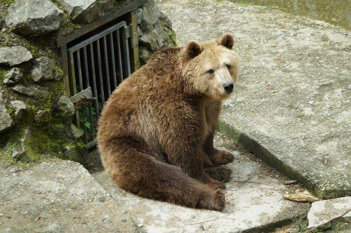 brown bear zoo bear