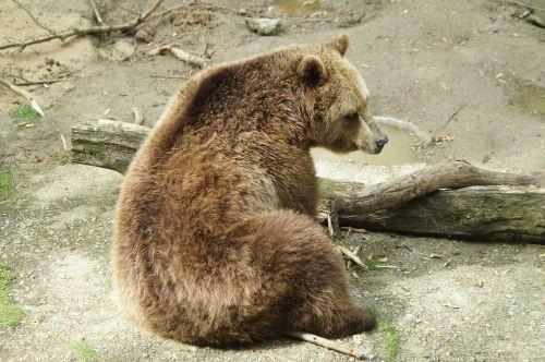 brown bear bear predator