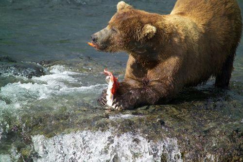 brown bear male eating