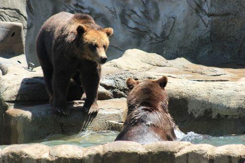brown bears bears exhibit zoo