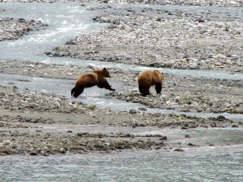brown bears water standing