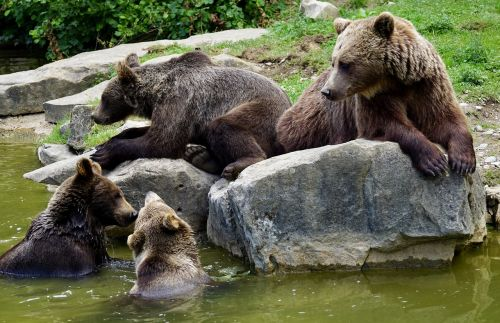 brown bears young animals dam
