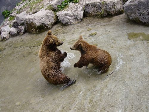 brown bears bear animal