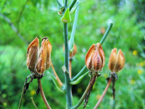 Brown Dry Seedpods