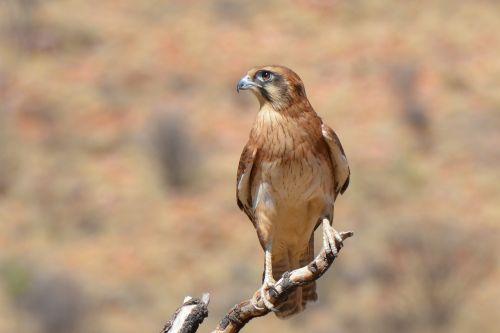 brown falcon falcon bird
