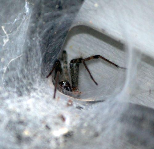 brown funnel spider tunnel web predator
