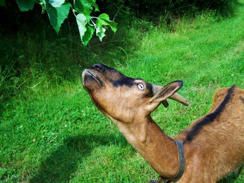 brown goat farm animals browse