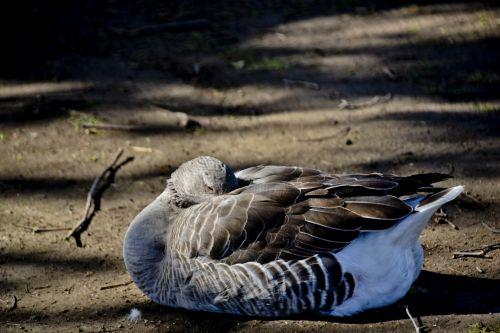 Brown Goose Sleeping