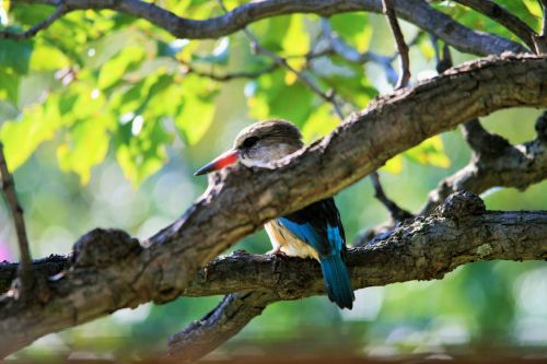 Brown Hooded King Fisher (1)