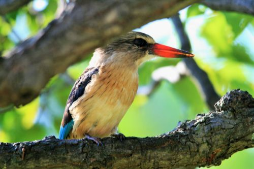 Brown Hooded King Fisher (3)
