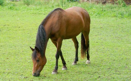 brown horse browse hoofed animals
