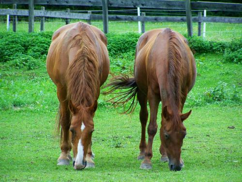 brown horses browse hoofed animals