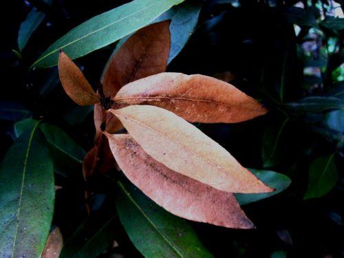 Brown Leaves On The Bayleaf Tree