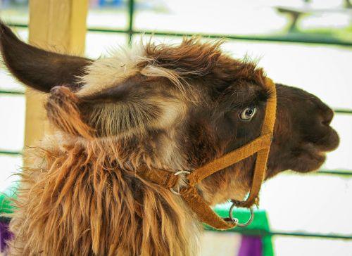 brown llama pack animal domesticated