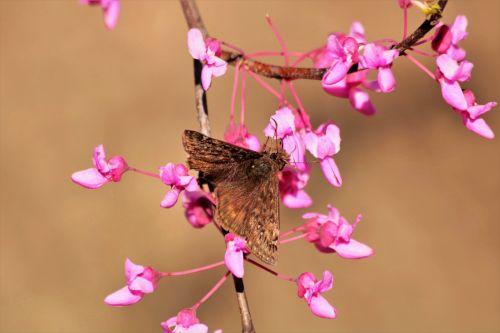 Brown Moth On Redbud Blooms