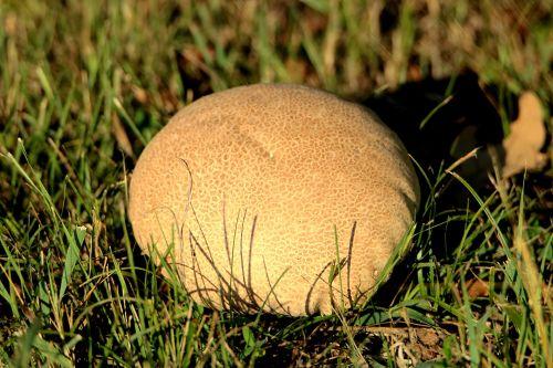 Brown Puffball Mushroom In Grass
