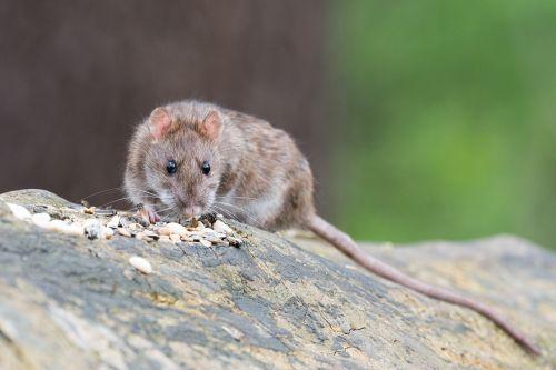 brown rat animal rodent