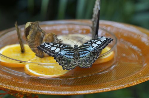 brown sailors brown segelfalter butterfly